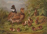 Vintage Quails & Their Chicks Illustration (1867)