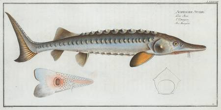 Vintage Illustration of a Sturgeon (1785)