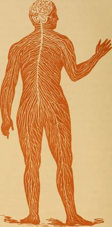 Vintage Human Nervous System Illustration (1887)