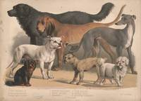Vintage Dog Breeds Illustration (1874)