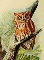 Vintage Illustration of an Owl (1912)