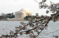 Jefferson Memorial and cherry blossoms photo