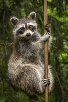 Raccoon - Pole Dancer_MG_588820180620