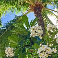 Frangipani and Coconut Palm Art Prints & Posters by Joel Carlson