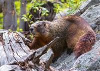 Yellow-Bellied Marmot by David Kocherhans