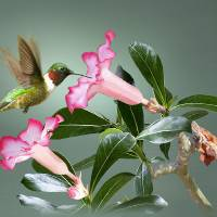 Ruby-throated Hummingbird and Desert Rose by I.M. Spadecaller