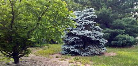 Blue Spruce Takes Center Stage Among Summer Trees