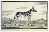 Equus zebra (Bergzebra), Robert Jacob Gordon, 1777