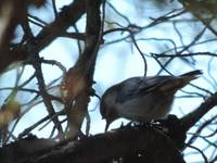 Shadow Nuthatch