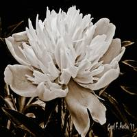 Peony Flower SQUARE Wall Art