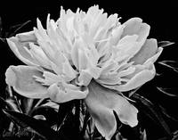 Peony Flower Black and White Botanical Wall Art
