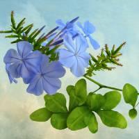 Blue Plumbago by I.M. Spadecaller