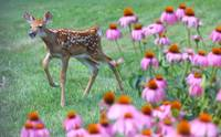 Deer and Coneflowers, Ohio