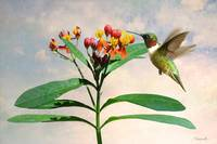 Ruby-throated Hummingbird and Milkweed Flower