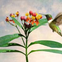 Ruby-throated Hummingbird and Milkweed Flower by I.M. Spadecaller