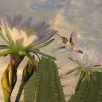 Allen's Hummingbird and Cactus Flowers by I.M. Spadecaller