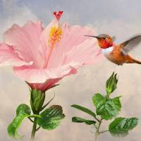 Rufous Hummingbird and Pink Hibiscus Flower by I.M. Spadecaller