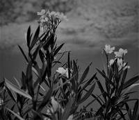 blackand white flowers