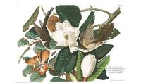 Black-billed Cuckoo, by John Audubon