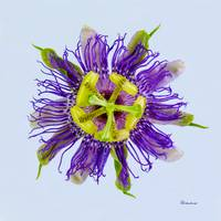 Yellow Green and Violet Passion Flower 50674b