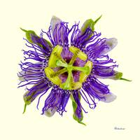 Yellow Green and Violet Passion Flower 50674Y