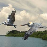 Pelicans Crossing Tampa Bay by I.M. Spadecaller
