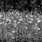 Buttercups in Black and White Prints & Posters
