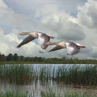Greylag Geese In Flight by I.M. Spadecaller