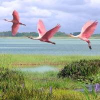 Roseate Spoonbills Of Florida Bay by I.M. Spadecaller