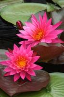 Hot Pink Tropical Waterlily Charm