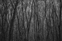 Dense Forest Trees BW