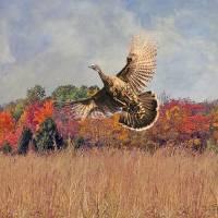 Autumn Wild Turkey by I.M. Spadecaller