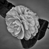 Camillia Art Prints & Posters by Kirt Tisdale