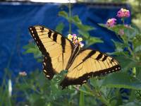 Black and Yellow Swallowtail butterfly