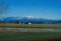 ChristmasDaySnowGeese-2830
