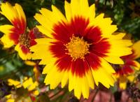 Coreopsis close up