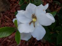 Close up of a white Gardenia flower