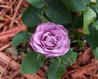 Tiny mauve rose