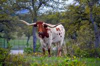 Texas Longhorn Cow portrait