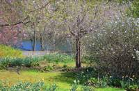 Flowered trees in Spring by Lake