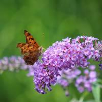Question Mark Butterfly on Butterfly Bush by Karen Adams