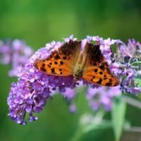 Question Mark Butterfly Dorsal View by Karen Adams