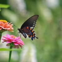 Pipevine Swallowtail Butterfly on Pink Zinnia by Karen Adams