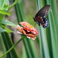 Pipevine Swallowtail Butterfly by Yucca by Karen Adams