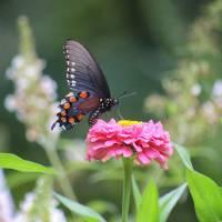 Pipevine Swallowtail Butterfly in Garden by Karen Adams