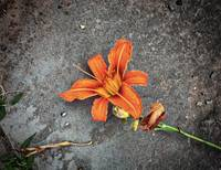 Tiger Lily on the Pavement Wall Art