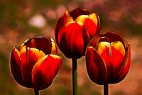 Midnight Blood Red Tulips