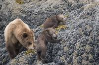 Brown Bear Mama and Cubs, Muir Inlet, Glacier Bay