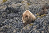 Brown Bear Mama and Cub, Muir Inlet, Glacier Bay,