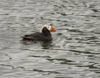 Tufted Puffin, Marble Islands, Alaska
